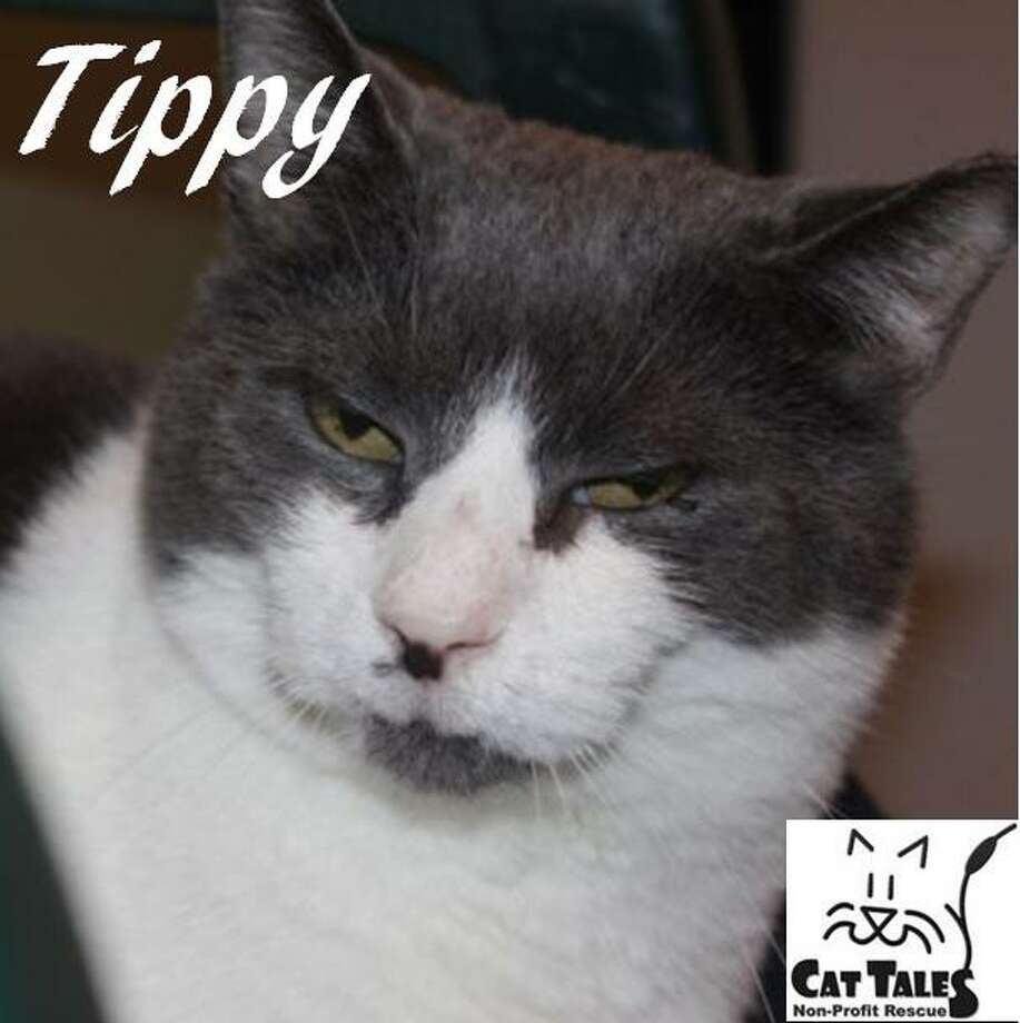 "Tippy, a 6-year-old gray and white male, is still waiting for his forever home. He says, ""I am the greeter, making sure I get all the pets I can. I follow volunteers around and grab any extra treats that I can get. Since I was abandoned, it took me some time to adjust to being spoiled but I am now a social butterfly. When I was found, my mouth really hurt and the doc decided to pull all my teeth. I am no longer in pain and I easily take medicine in my food (for maintenance). I have FIV, but don't worry, the doc said I am in good shape and not contagious to humans. I really just want a home so I can be loved. Please adopt me."" Visit http://www.CatTalesCT.org/cats/Tippy, call 860-344-9043 or email: info@CatTalesCT.org Photo: Contributed Photo/Cat Tales"
