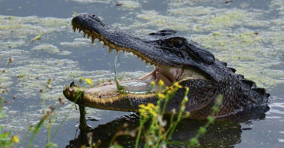A photo showing a broken piece of glass resting inside an alligator's mouth is a tragic reminder to keep nature clean.