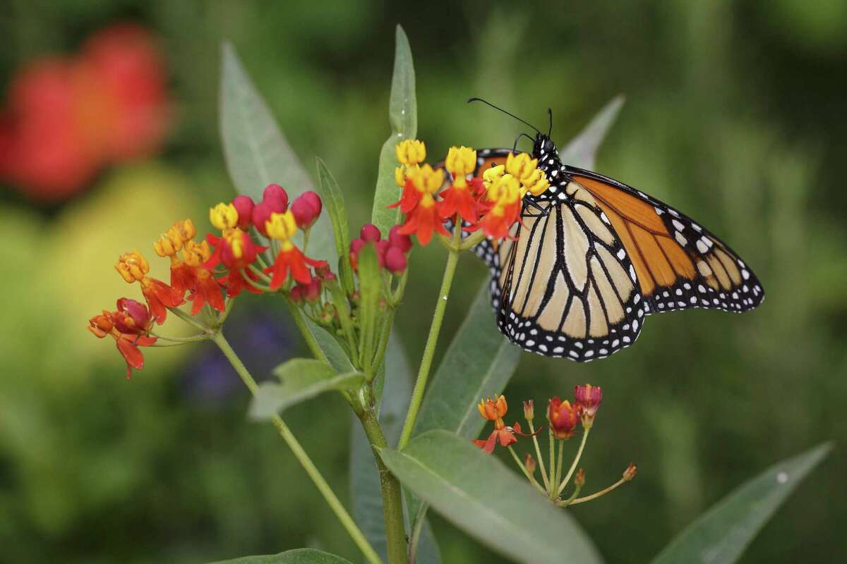 A monarch butterfly sits on butterfly weed.
