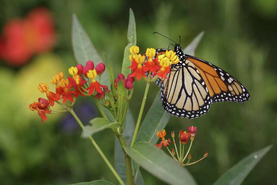 A monarch butterfly sits on butterfly weed. Photo: Michael Paulsen /Houston Chronicle / © 2013 Houston Chronicle