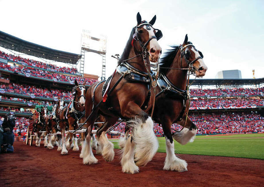 Budweiser Clydesdales make their way around the warning track at Busch Stadium as part of the opening day festivities before the Cardinals played the Arizona Diamondbacks on Thursday night at Busch Stadium. Photo: Associated Press