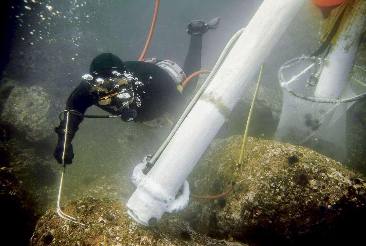 Near Fort Bragg, Jon Holcomb clears purple sea urchins from the ocean floor using an urchin rake and an air lift.