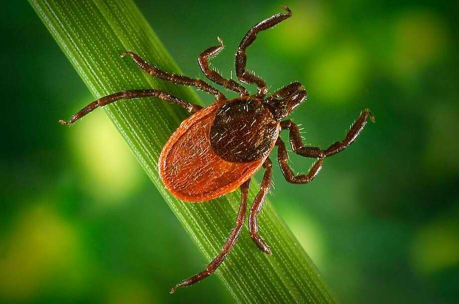 Black-legged (deer) ticks are vectors of debilitating Lyme disease. Photo: Houston Chronicle Files