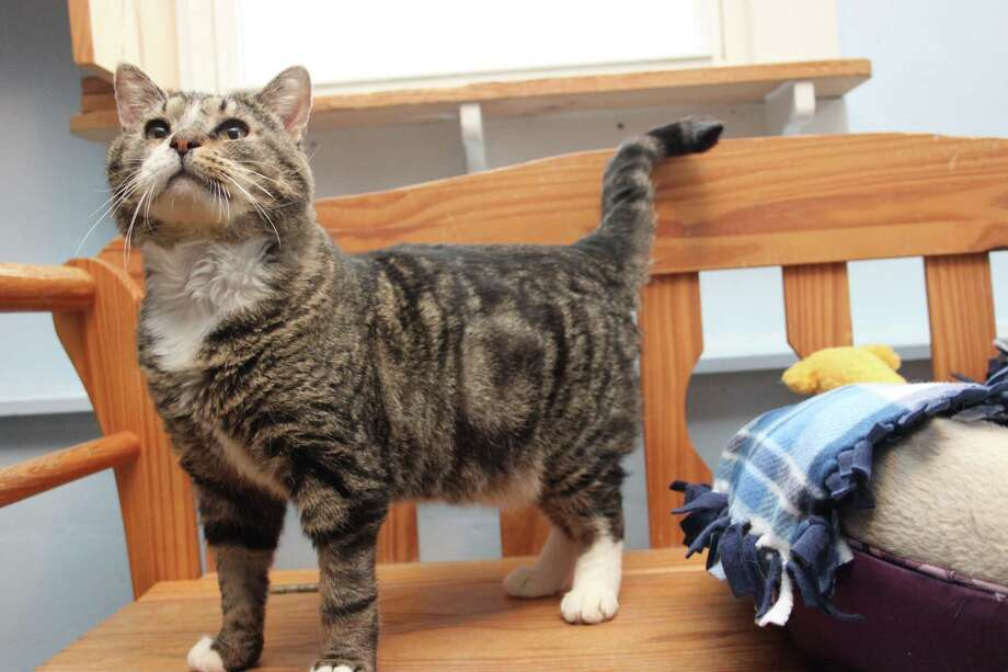"Some cats just take your breath away with their resilience and life force. Corona is one such cat. This adorable fellow was born ""entropion"", which means the lower eyelids were reversed. His ""guardians"" at the time, did not bother to help him. He was then surrendered to a high kill NY shelter until he was saved from euthanasia.  He's since had surgery to correct his lids, has healed beautifully and is ready to be embraced by a very special, very lucky family. Corona is strong, very strong. He is an inspiration and a delight to be around, he makes you feel like anything and everything is possible. Forming a bond with this angel will be the easiest and most rewarding experience you've ever had with a cat.To reach Mary's Kitty Korner, call 860-379-4141/413-297-0537 or email marys.kitty.korner@sbcglobal.net Photo: Contributed Photo"
