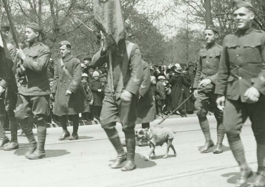 This April 30, 1919 photograph provided by the Connecticut State Library shows famed war dog Stubby walking in a homecoming parade for World War I veterans in Hartford. Photo: Contributed / Connecticut State Library