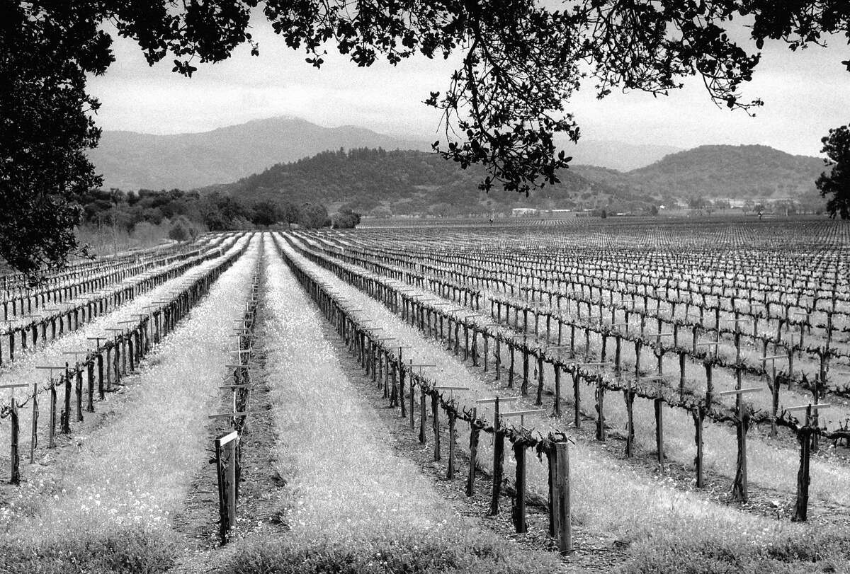 Stelling Vineyards along the Oakville Grade in Napa, March 23, 1989.