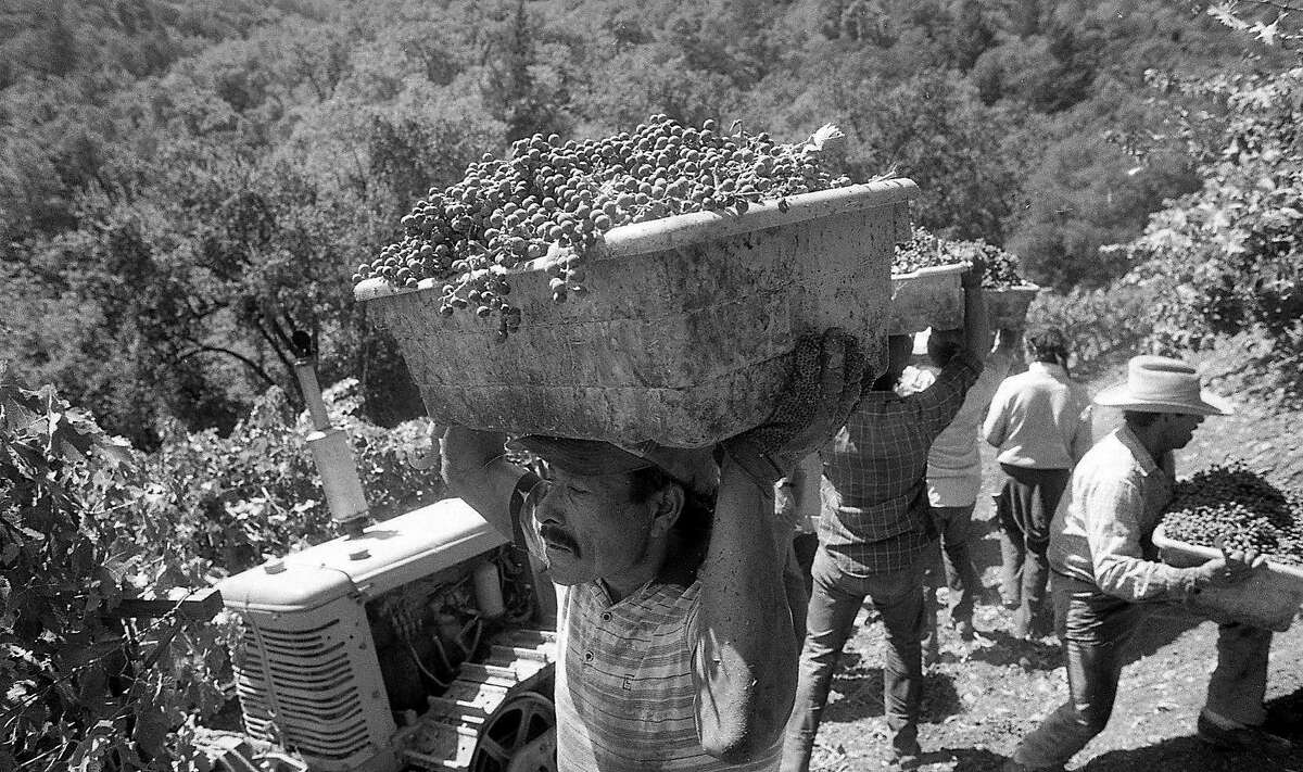 Grapes being harvested at Newton Vineyards high above St. Helena, September 4, 1986.