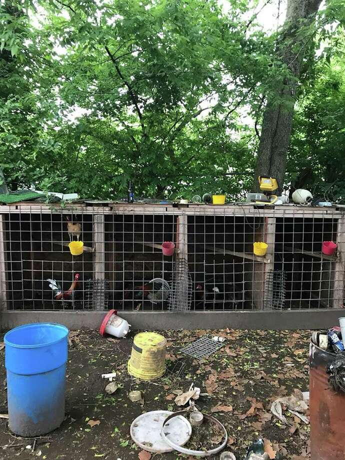 Officers with the Harris County Precinct 3 Constables Deputies rescued over 80 roosters, hens an chicks that were being used for an illegal cockfighting ring. Photo: Harris County Constable Precinct 3