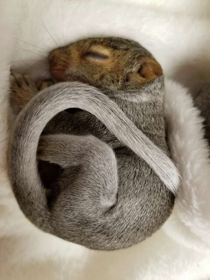 Stamford animal control officers were called to pick up an orphaned baby squirrel. Photo: Stamford Animal Control & Care Center / Contributed Photo / Stamford Advocate  contributed