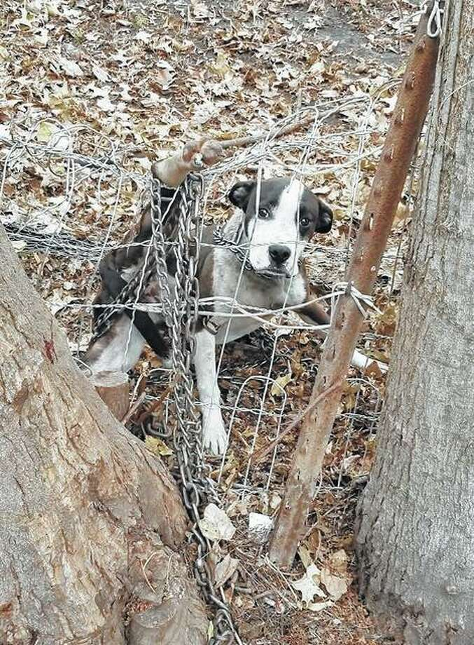 One of the dogs removed from a property in Kane was entangled in a wire fence and chain. Photo: Photo Provided