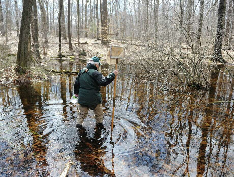 Wetland Scientist Michael Aurelia wades into the waters of a vernal pool to look for frog and salamander eggs during the vernal pool walk at Babcock Preserve in Greenwich, Conn. Sunday, April 8, 2018. Wetland Scientist Michael Aurelia and former Greenwich Conservation Director Denise Savageau led the tour through the woods in search of vernal pools, a type of wetland that appears in spring and dries up in the summer temperatures rise. The unique space provides optimal conditions for several native amphibian and insect species. Photo: Tyler Sizemore / Hearst Connecticut Media / Greenwich Time