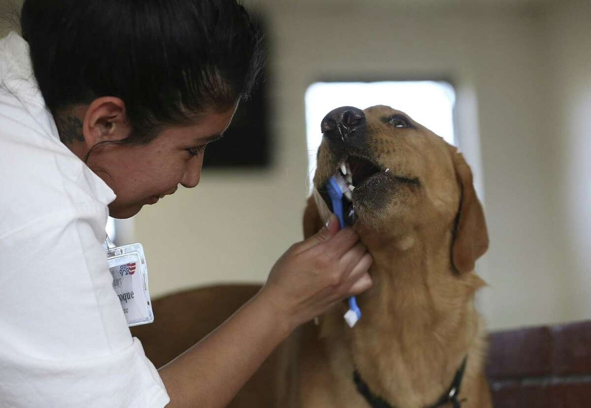 Texas Department of Criminal Justice's Patriot Paws participant Caroline Cejaroque brushes the teeth of service dog-in-training Sonny after a training demonstration at the Crain Unit on Wednesday, Feb. 7, 2018, in Gatesville. This month marks the 10th year of this program, which allows the inmates to train service dogs for veterans. ( Yi-Chin Lee / Houston Chronicle )