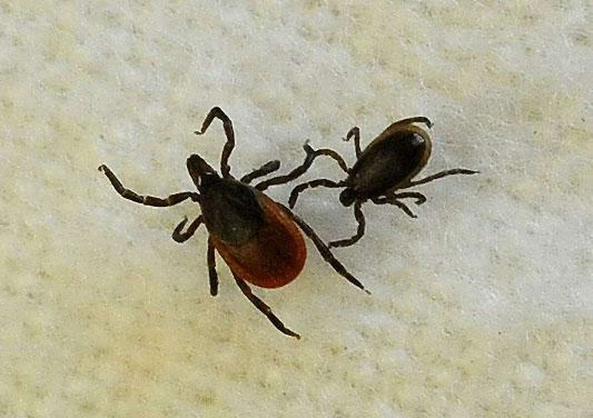 A female blacklegged tick, left, and a male, are shown in assistant professor Neeta Connally's lab at Western Connecticut State University in Danbury.