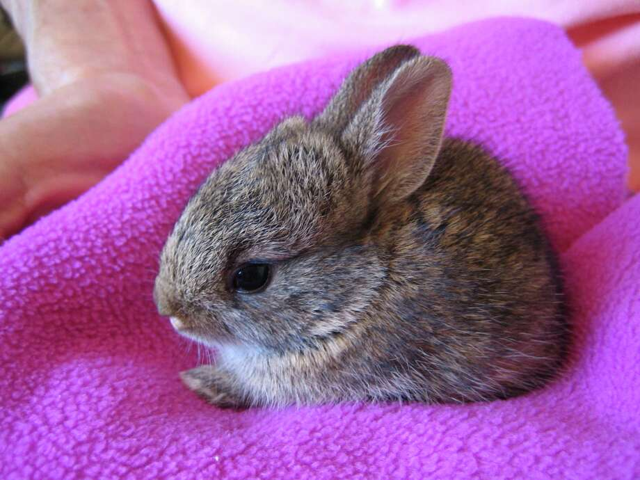 Wildlife experts warn that people should avoid intervening if they find baby rabbits on their own. If the rabbits are healthy and appear well fed, they are likely being cared for by their mother. Photo: Submitted