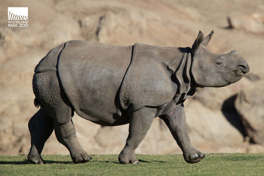 Taj, a male, one-horned rhinoceros, will make his public debut at the Woodland Park Zoo on May 5 after coming to Seattle from San Diego, where he was born in 2016. Photo: Jeremy Dwyer-Lindgren/Woodland Park Zoo