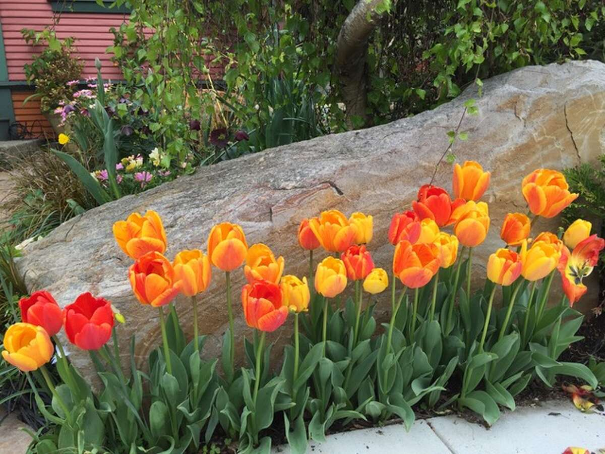 Spring planting of tulips