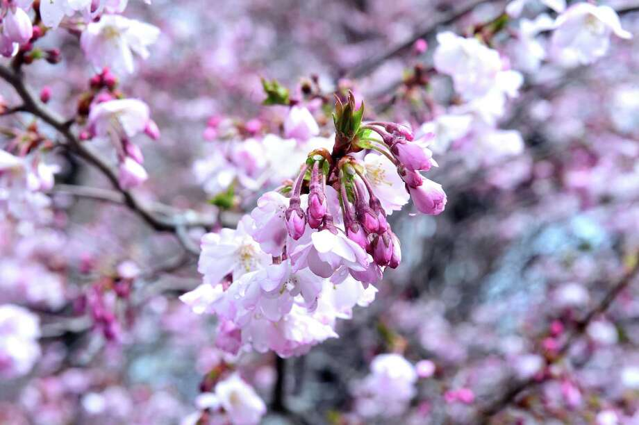 A cherry blossom tree shows plenty of blooms in Wooster Square in 2015. Photo: Arnold Gold / Hearst Connecticut Media
