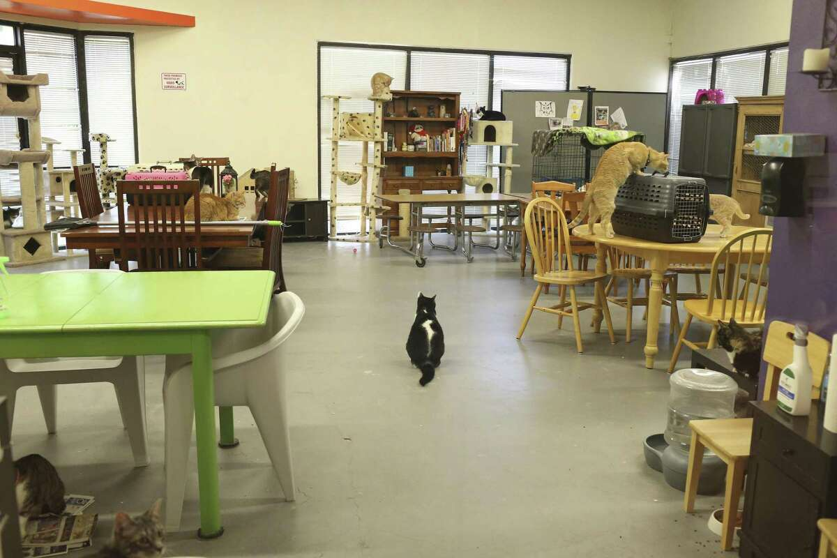 Cats hang out at the San Antonio Cat Cafe, Tuesday, April 10, 2018. In a Facebook post, a former San Antonio Cat Cafe employee alleges cats dying at the cafe, a ringworm-infested kitten coup, and late paychecks.