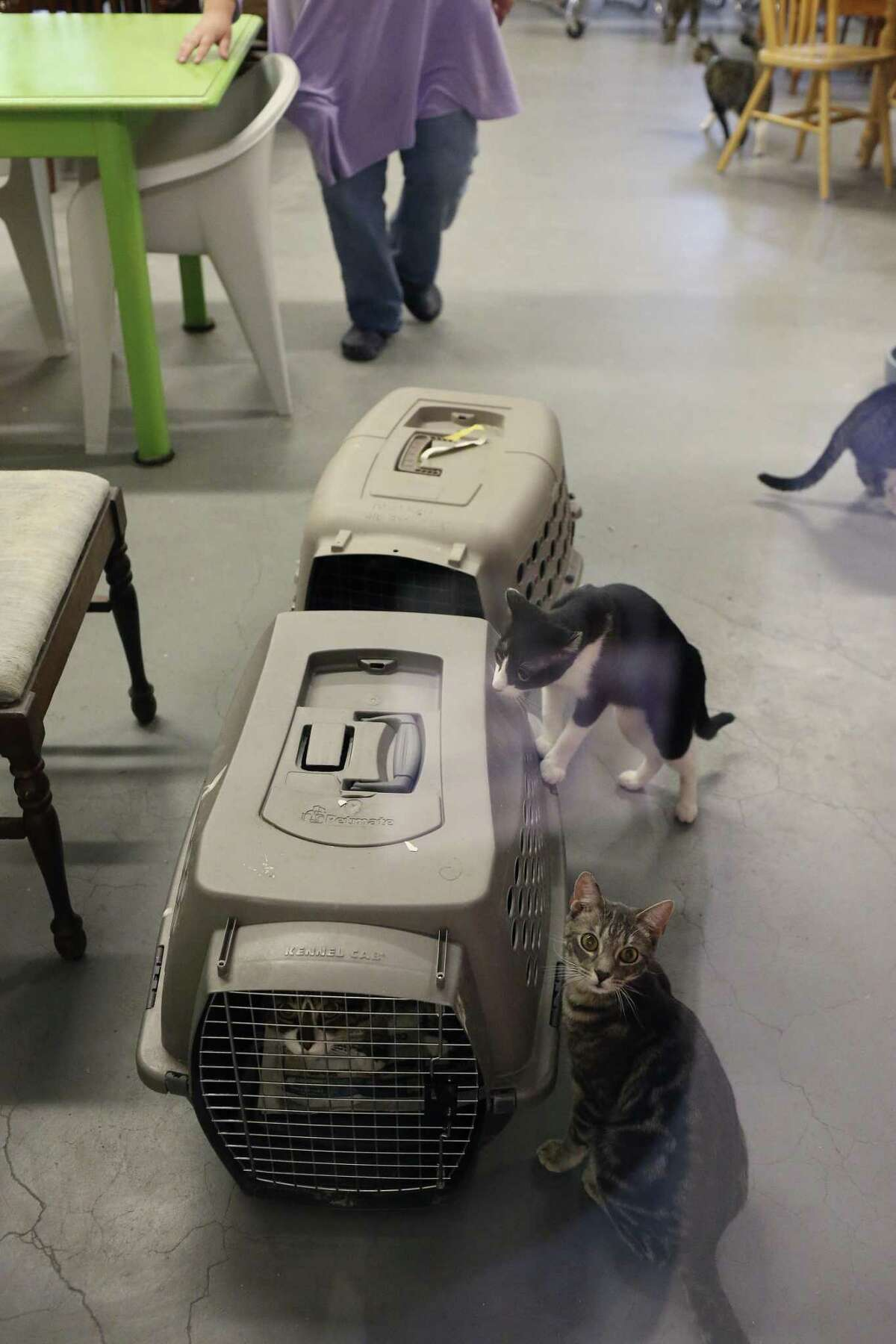Volunteers prepare to take 10 cats from San Antonio Cat Cafe to a veterinary clinic for immunizations, Tuesday.