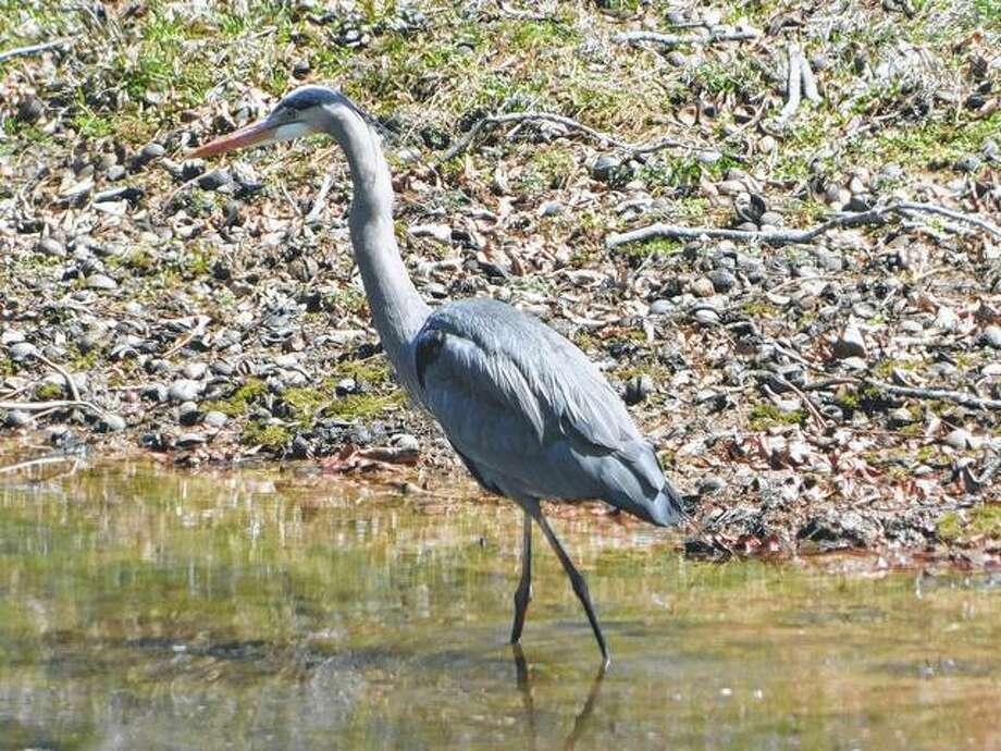 A blue heron strolls on the edge of a lake.