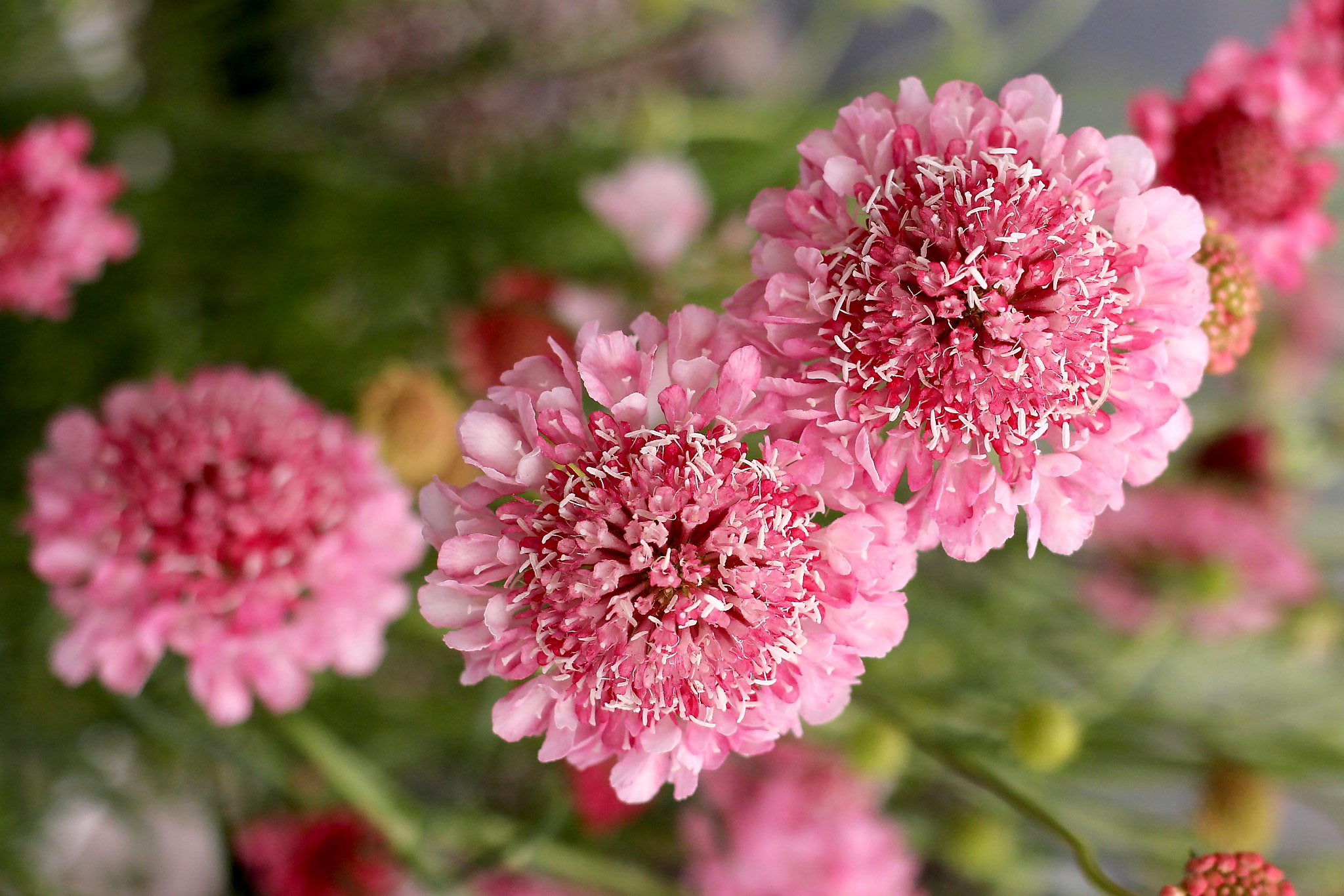Go over the brink of pink with new variety of pincushion flower