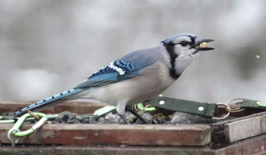 A blue jay holds several suet nuggets in its bill during a recent snowfall in Danbury. Photo: Chris Bosak / Hearst Connecticut Media / The News-Times