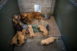 Tara York, a kennel tech, sits with a female golden retriever and her puppies at the Sugarfork Kennels in Goodman, Mo. MUST CREDIT: Washington Post photo by Salwan Georges
