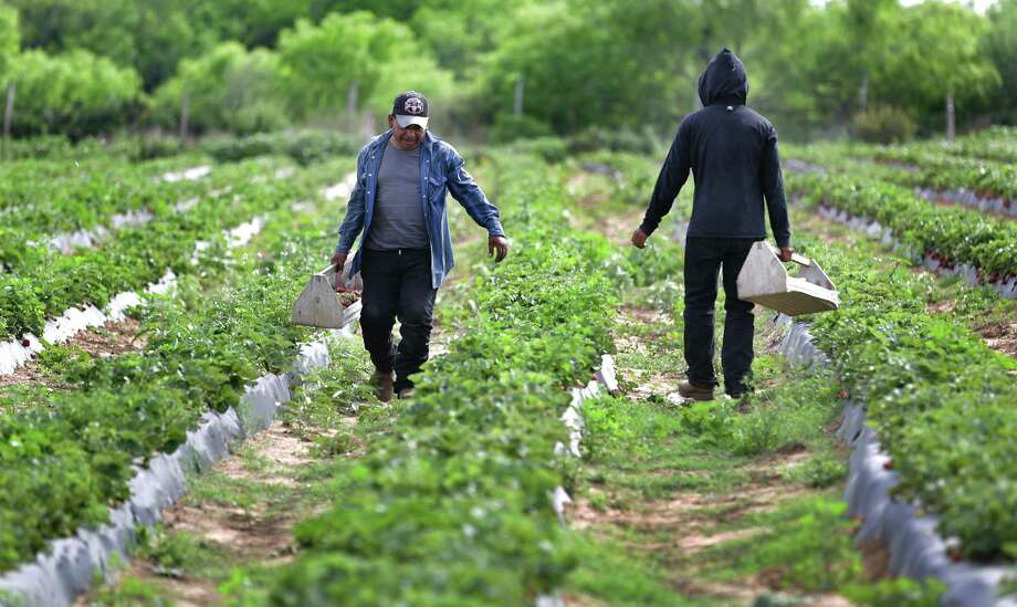 Workers carry boxes of picked strawberries at the Sanchez Strawberry Farm just outside Poteet. Photo: Bob Owen /San Antonio Express-News / ©2018 San Antonio Express-News