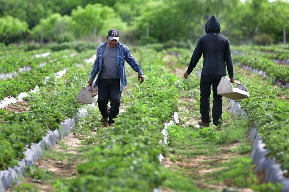 Workers carry boxes of picked strawberries at the Sanchez Strawberry Farm just outside Poteet.