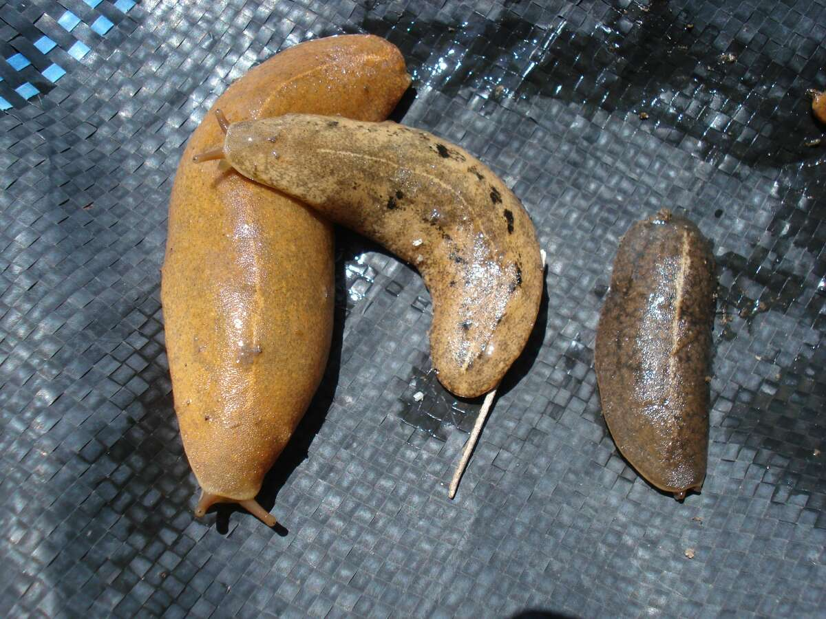 The Veronicella cubensis slug is known carry rat lungworm disease. Rat lungworm disease affects the brain and spinal cord. It is caused by roundworm parasite only found in rodents. Infected rodents can pass larvae of the worm in their feces. Snails, slugs, and other animals can become infected by ingesting this larvae. Humans can become infected with rat lungworm disease if they eat a raw or undercooked fruits or food infected by the intermediate host.