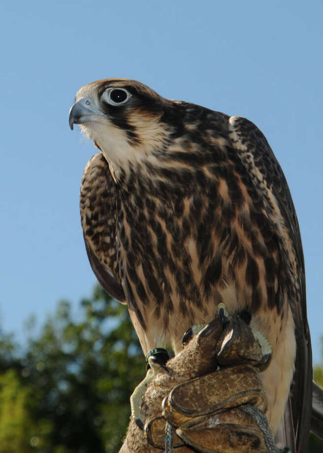 A peregrine falcon. Photo: Frank Doyle/U.S. Fish And Wildlife Service. / Bloomberg