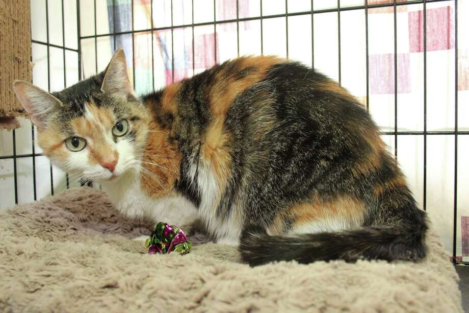 Debussey is a little charmer, a true calico with great markings, and a very sweet gal. She's with us now at our adoption center in Granby. To reach Mary's Kitty Korner, call 860-379-4141/413-297-0537 or email marys.kitty.korner@sbcglobal.net. Photo: Contributed Photo