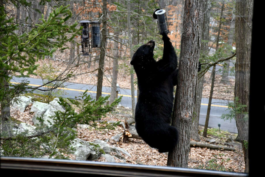 Bear sighting in Brookfield on April 12, 2018. Photo: Tina Heidrich