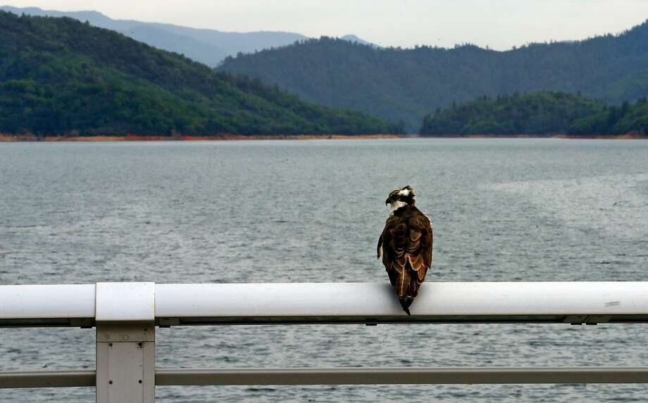An osprey sits on the railing of Shasta Dam at Shasta Lake. Proponents say raising the dam's height would help more downstream salmon survive by storing more cold water. Photo: Michael Macor / The Chronicle
