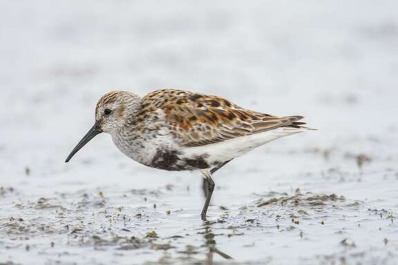 Dunlins are an easy shorebird to identify this spring. Look for the off-kilter black patch on a white belly.