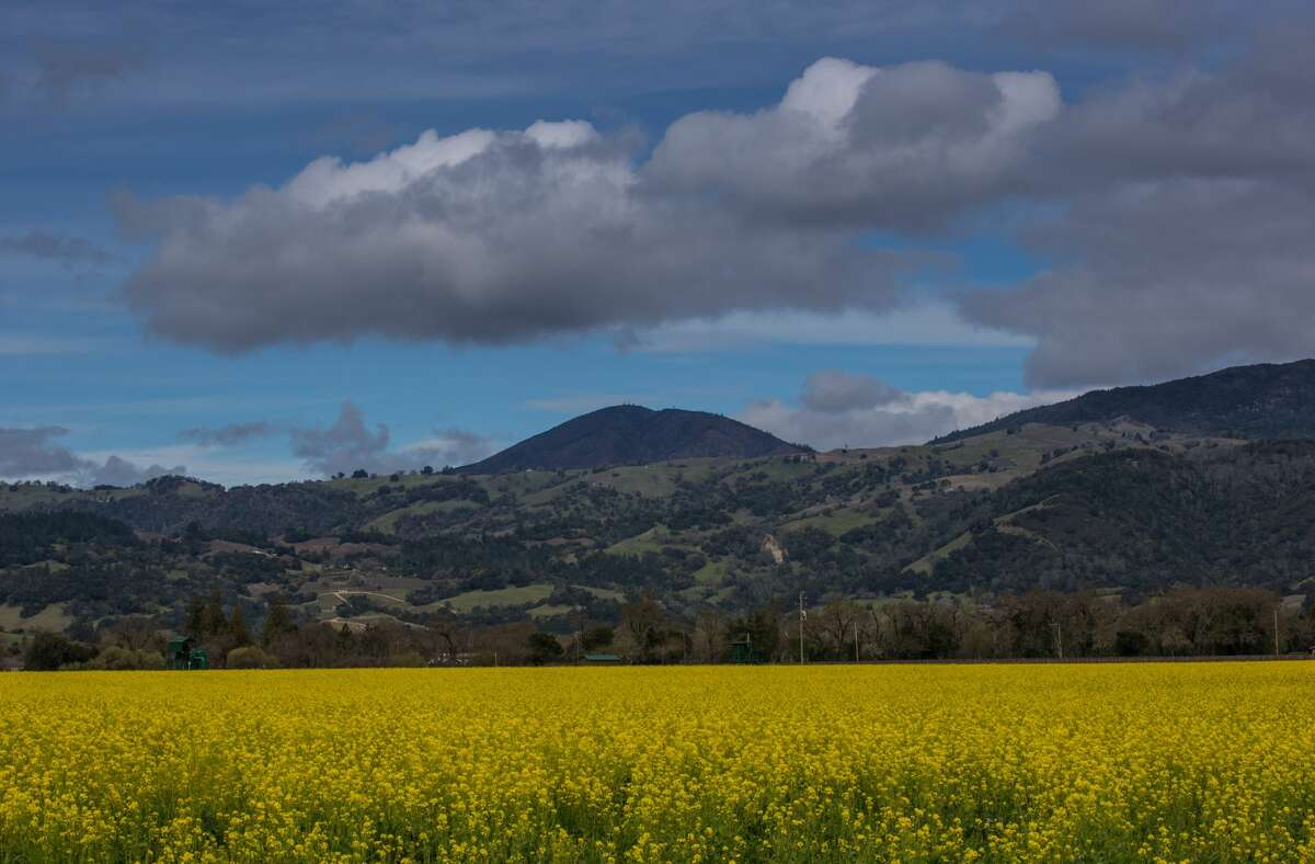 Tourists visiting the Alexander Valley are treated to fields of mustard as viewed on March 12, 2018, near Healdsburg.