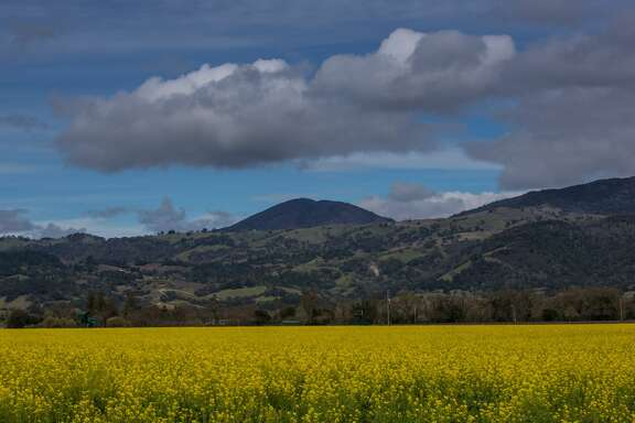 HEALDSBURG, CA - MARCH 12:  Tourists visiting the Alexander Valley are treated to fields fo mustard as viewed on March 12, 2018, near Healdsburg, California. Following a dry winter, a series of early spring rainstorms are falling across the North Coast Wine Country of Sonoma County, bringing rain total back to near normal. (Photo by George Rose/Getty Images)