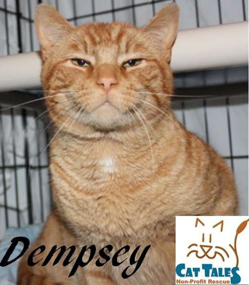 "Dempsey is an orange male, about 5 years old. He says: ""Greetings, I'm Dempsey! Aren't I handsome? I'm such a sweet boy too. I was found as a stray outside. I love to be petted and love attention. I like to be held when I'm in the mood. I like to play and am very affectionate. I'd love to cuddle up in bed or on the couch with you! I will need some time to adjust to a new home, so please be patient. I am FIV+. I am not contagious to humans and it is extremely difficult for other cats to get this (we'd have to exchange blood). I can live just as long as any cat without FIV. Please adopt me."" To adopt Dempsey, visit http://www.CatTalesCT.org/cats/Dempsey, call 860-344-9043 or email info@CatTalesCT.org.Watch Cat Tales' TV commercial at https://youtu.be/Y1MECIS4mIc? Photo: Contributed Photo/Cat Tales"