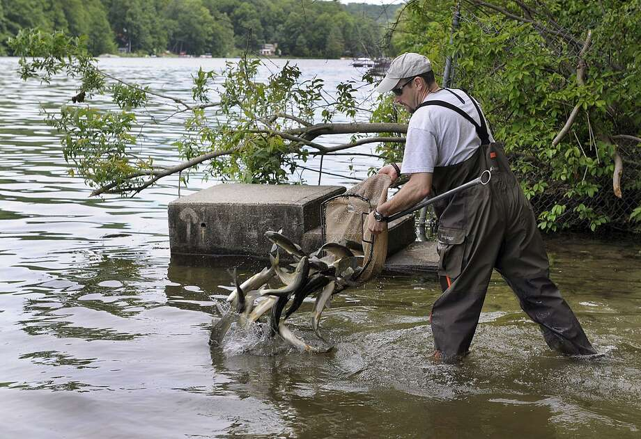 File photo of releasing sterile grass carp into Squantz Pond. \ Photo: Carol Kaliff / Hearst Connecticut Media / The News-Times