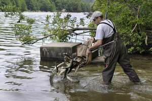 File photo of releasing sterile grass carp into Squantz Pond. \
