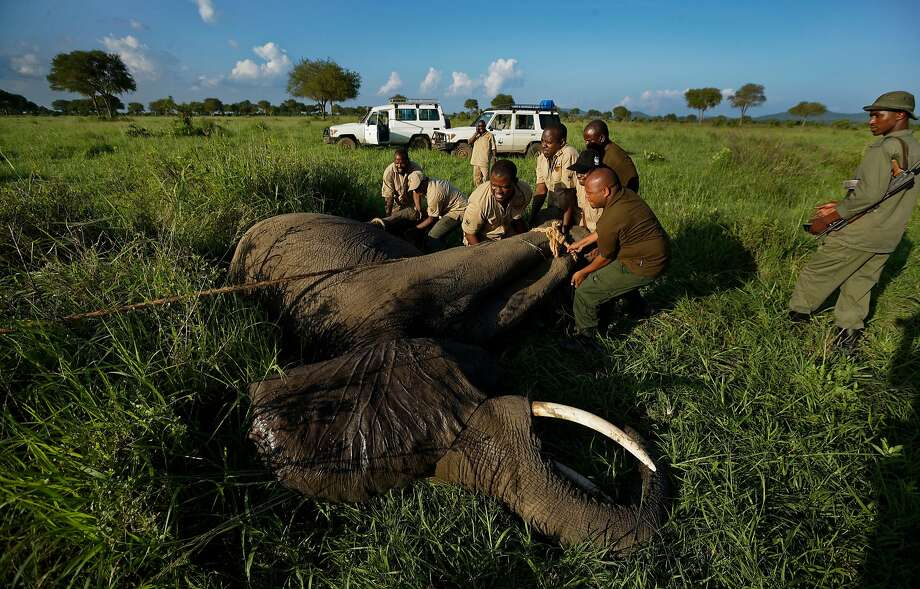 Wildlife veterinarians turn over a tranquilized elephant in order to attach a GPS tracking collar in Mikumi National Park. Photo: Ben Curtis / Associated Press