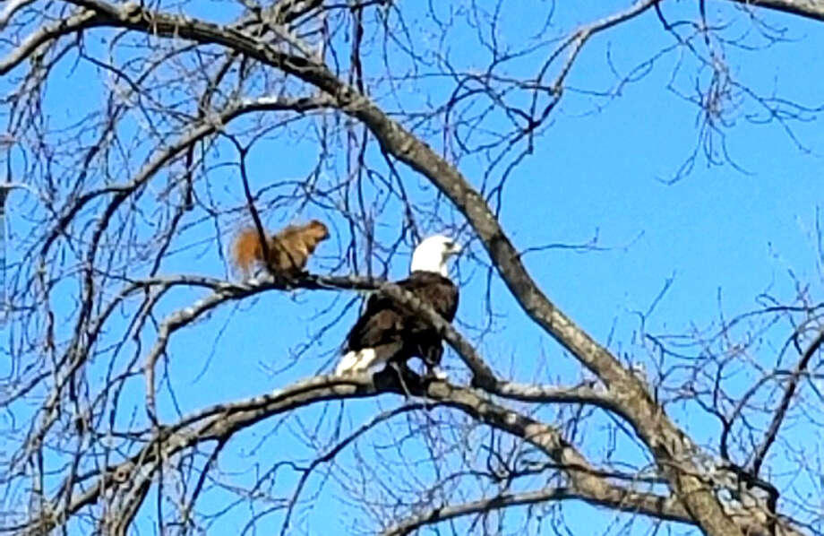 A brave squirrel checks out a bald eagle visiting 'his' tree. Photo: Mike Grapp/Submitted To The Tribune