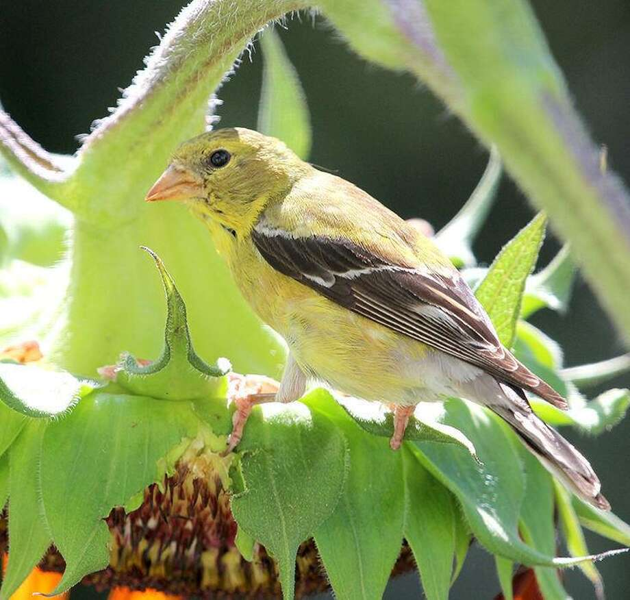 An American goldfinch perches on a sunflower in Stamford, Conn. Photo: Chris Bosak / Hearst Connecticut Media / The News-Times