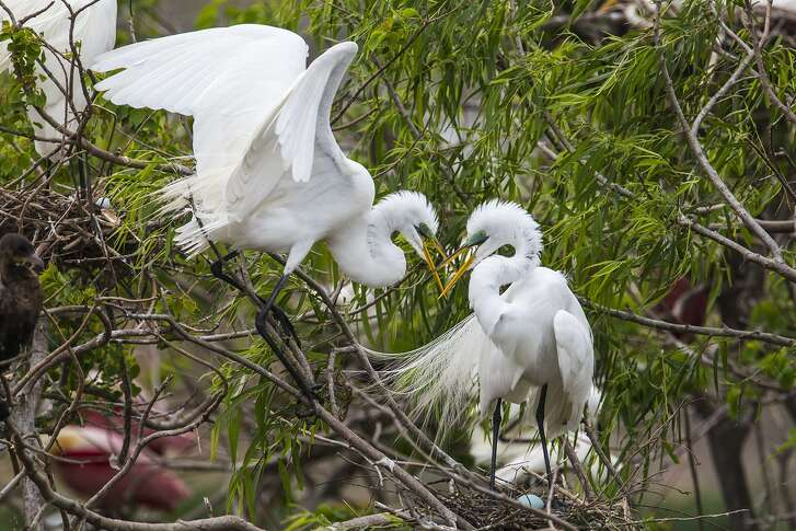 Wading birds including great egrets are nesting this spring at Clay Bottom Pond in Houston Audubons Smith Oaks Sanctuary in High Island.