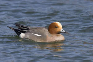 A duck more commonly found in northern Europe and Asia was recently spotted at the Katy Prairie Conservancy./Rick and Nora Bowers - KAC Productions