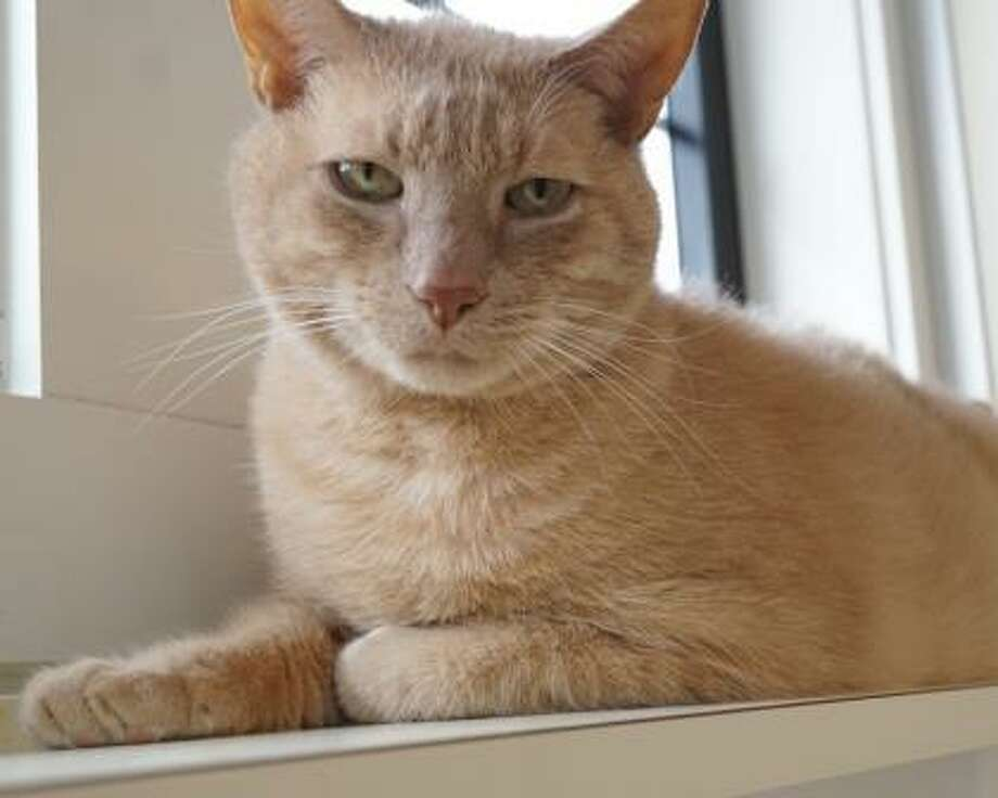 This is Lucic, and the  9-year-old senior kitty at our Waterford facility. Lucic is a quiet and reserved orange kitty who would like to live with adults and kids over 12 years of age. This kitty would also prefer to be the only pet in the home so that he can get all the love and attention. He loves to be spoiled, lounge, watch the birds, and dream. Lucic would prefer a peaceful home. Remember, the Connecticut Humane Society has no time limits for adoption. Inquiries for adoption should be made at the Connecticut Humane Society located at 701 Russell Road in Newington or call toll free: 1-800-452-0114. Photo: Contributed Photo/Connecticut Humane Society