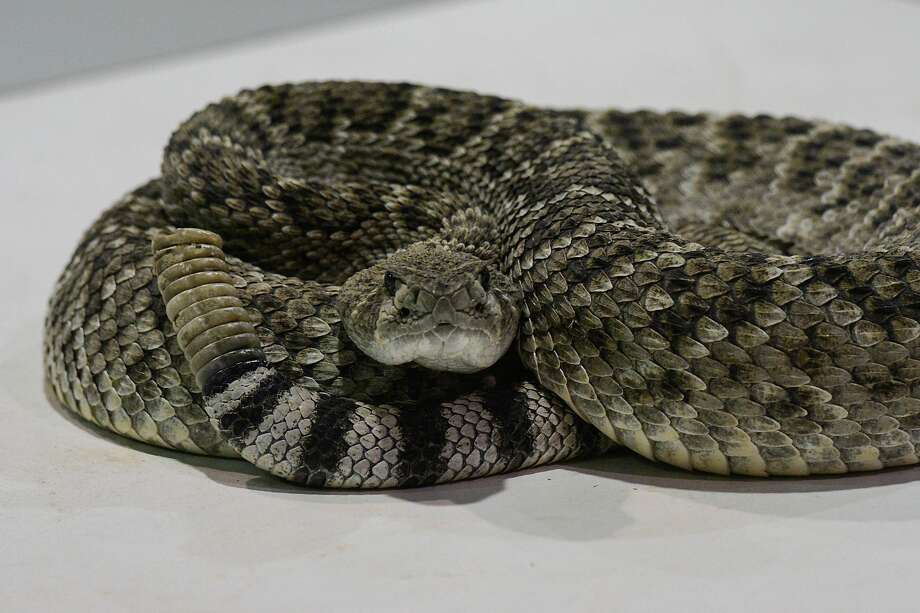 A rattlesnake shortly before it venom is milked on Friday, March, 9 2018 in Sweetwater Texas. Photo: Charlie Blalock/ Special To The Express News