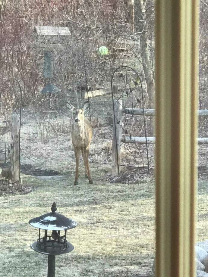 A deer stands between garden gates leading to the Ferlazzos? yard in Latham on April 10. ?It is as if she is asking permission to enter the garden after a long winter. The flowers would be tender at this stage of new growth,? Donna Ferlazzo says.