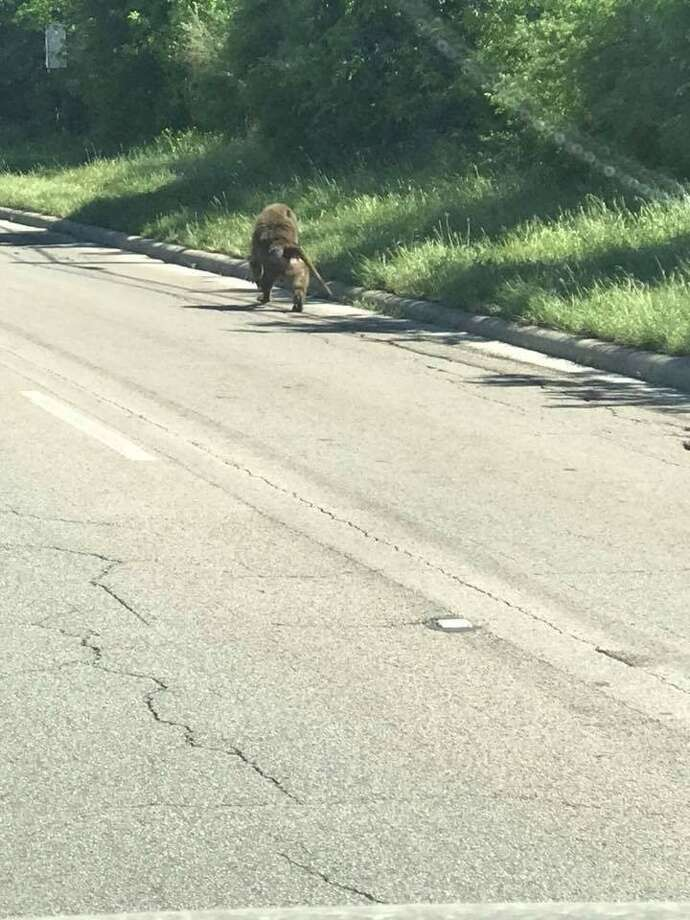 Witnesses were able to snap pictures of one of four baboons who escaped from a far West Side biomedical research facility Saturday afternoon, April 14, 2018. Photo: Courtesy Jannell Bouton