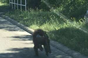 Witnesses were able to snap pictures of one of four baboons who escaped from a far West Side biomedical research facility Saturday afternoon, April 14, 2018.